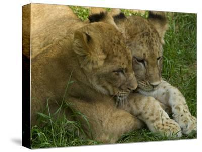 African Lion Cubs, Panthera Leo, Socializing in their Enclosure
