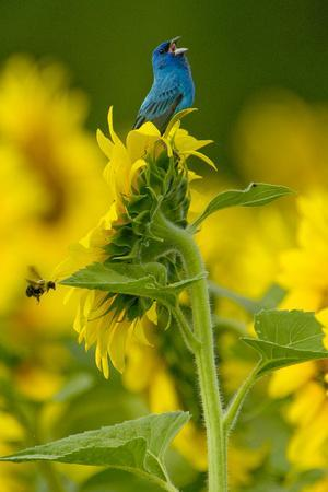 An Indigo Bunting, Passerina Cyanea, on a Sunflower Singing to Claim its Territory