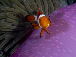 Anemone Fish Near the Stinging Tentacles of a Sea Anemone, Sulawesi, Indonesia by Paul Sutherland