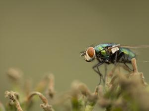 Bluebottle Fly Perched on a Plant in a Suburban Garden by Paul Sutherland