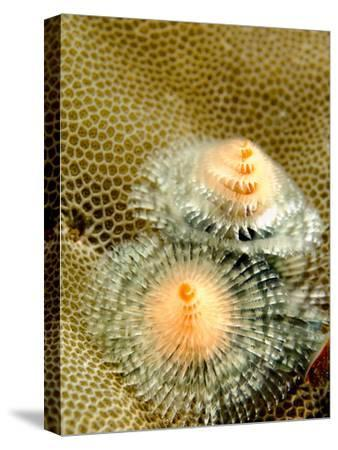 Christmas Tree Worms, Spirobranchus Giganteus, Living in Coral