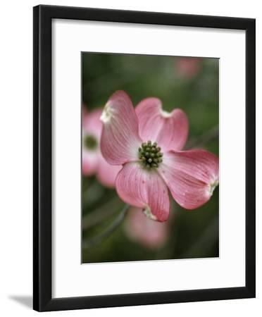 Close Detail of a Pink Dogwood Blossom