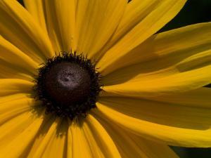 Close-up Detail of a Black-Eyed Susan Flower by Paul Sutherland