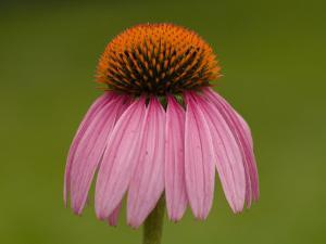 Close-up Detail of a Purple Coneflower by Paul Sutherland