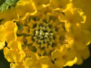 Close Up Detail of Radial Symmetry in a Yellow Flower by Paul Sutherland