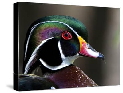 Close Up Image of a Wood Duck, Aix Sponsa