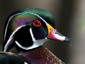 Close Up Image of a Wood Duck, Aix Sponsa by Paul Sutherland