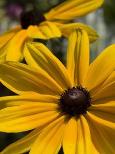 Close-up of a Black-Eyed Susan Flower by Paul Sutherland