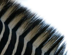Close Up of the Mane of a Burchell's or Common Zebra, Equus Burchelli by Paul Sutherland