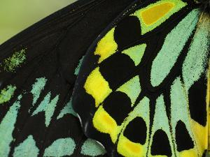 Close Up of Wing Color Pattern on a Cairns Birdwing Butterfly by Paul Sutherland