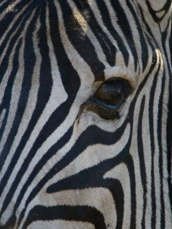 Close Up Portrait of a Burchell's or Common Zebra, Equus Burchelli