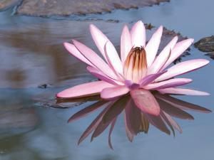 Delicate Pink Water Lily Blossom and Reflection in Calm Water by Paul Sutherland