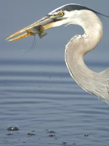 Juvenile Great Blue Heron, Ardea Herodias, with a Sunfish in its Beak by Paul Sutherland