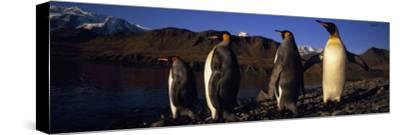 King Penguins on the Rocky Shore of the Island of South Georgia