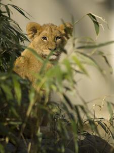 Lion Cub, Panthera Leo, Exploring its Enclosure by Paul Sutherland