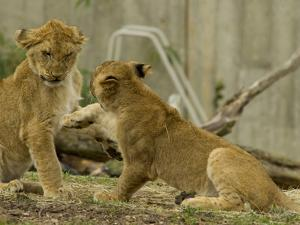 Lion Cubs, Panthera Leo, Socializing and Play-Fighting by Paul Sutherland
