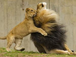 Male African Lion and Cub, Panthera Leo, Playing and Bonding by Paul Sutherland