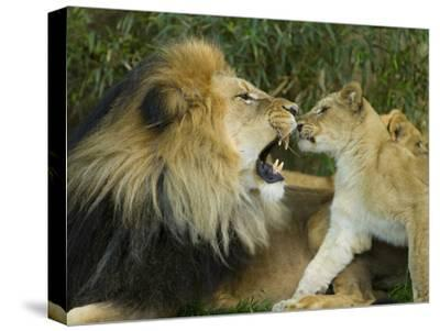 Male African Lion and Cub, Panthera Leo, Socializing in Zoo Enclosure