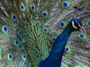 Male Indian Pea Fowl, Peacock, Pavo Cristatus, Displaying for Females. by Paul Sutherland