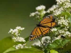 Monarch Butterfly, Danaus Plexippus, on a Blooming Shrub by Paul Sutherland