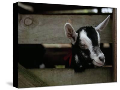 New Zealand Goat Kid Peers from it's Pen at a Goat Milk, Cheese Farm