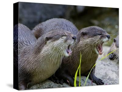 Oriental or Asian Small-Clawed Otters, Aonyx Cinerea, Yawning
