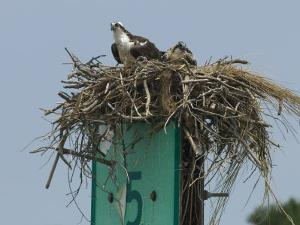 Osprey and Chick in Nest Atop a Boating Channel Marker by Paul Sutherland