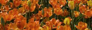 Panoramic Detail of a Bed of Tulip Flowers by Paul Sutherland