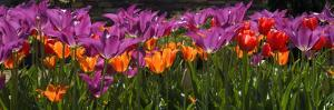 Panoramic Detail of Purple and Orange Tulips by Paul Sutherland