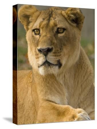 Portrait of a Female African Lion, Panthera Leo