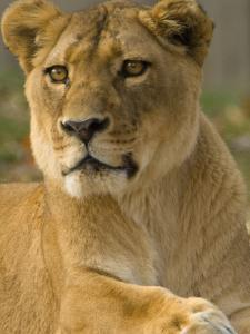 Portrait of a Female African Lion, Panthera Leo by Paul Sutherland