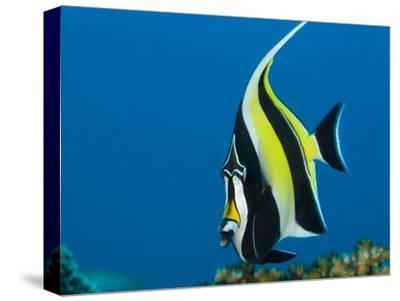 Portrait of a Moorish Idol Fish, Zanclus Cornutus, or Crowned Scythe