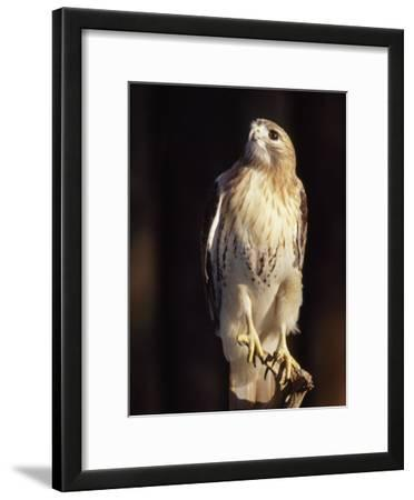 Portrait of a Rehabilitated Captive Red-Tail Hawk