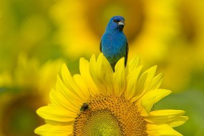 Portrait of an Indigo Bunting, Passerina Cyanea, on a Sunflower