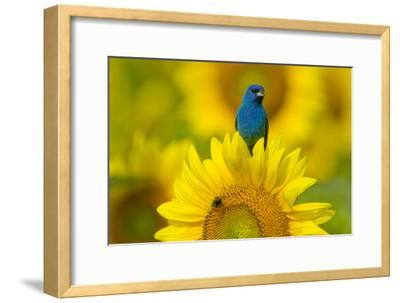 Portrait of an Indigo Bunting, Passerina Cyanea, on a Sunflower
