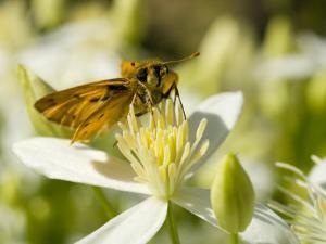 Skipper Butterfly on a Jasmine Bloom by Paul Sutherland