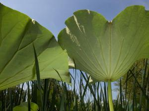 View of the Underside of Lotus Water Lily Plant Leaves by Paul Sutherland
