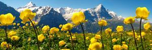 Alpine Globeflower Meadows at 6000 Ft with the Eiger Behind. First, Grindelwald, Bernese Alps by Paul Williams