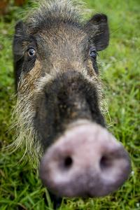 Bearded pig close up of snout, Bako NP, Sarawak, Borneo by Paul Williams