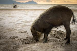 Bearded pig digging in sand, Sarawak, Borneo by Paul Williams