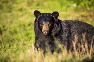 Black bear (Ursus americanus), preparing for hibernation. Maine, USA by Paul Williams