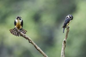 Black-thighed falconet male female pair with female fanning her feathers,  Malaysia by Paul Williams