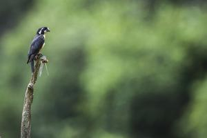 Black-thighed falconet male, Malaysia. With dragonfly prey. The world's smallest bird of prey by Paul Williams