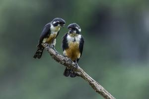 Black-thighed falconet pair, male on right, female on left, Malaysia. World's smallest bird of prey by Paul Williams