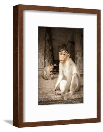 Bonnet Macaque (Macaca Radiata) Adults and Baby in Temple, Hampi, Karnataka, India, July