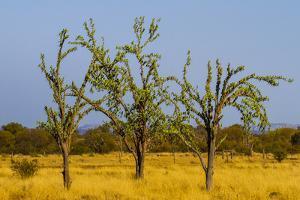 Budgerigars (Melopsittacus undulatus) flocking on tree, Northern Territory, Australia by Paul Williams