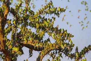 Budgerigars (Melopsittacus undulatus), flocking to find water, Northern Territory, Australia by Paul Williams