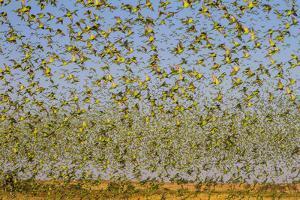 Budgerigars (Melopsittacus undulatus) flocking to find water, Northern Territory, Australia by Paul Williams