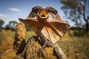 Frill-neck Lizard (Chlamydosaurus kingii), on a termite mound. Northern Territory, Australia by Paul Williams