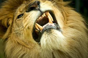 Lion close up of teeth while its snarling, captive by Paul Williams